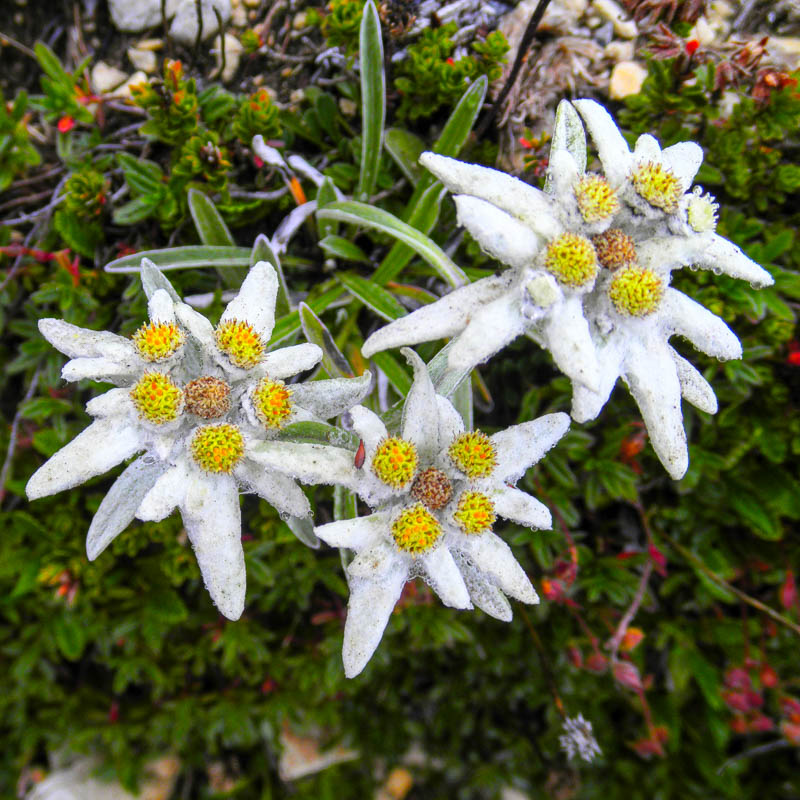 Эдельвейс цветок красивое
